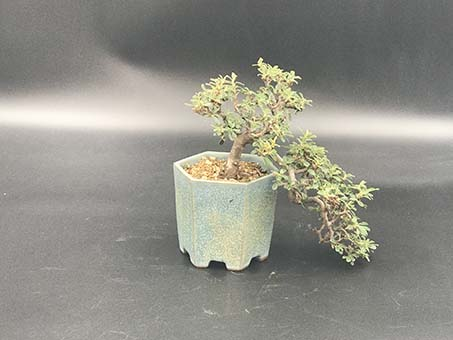 AZ BONSAI CERNAY ALSACE BONSAI EXT COTONENSTER