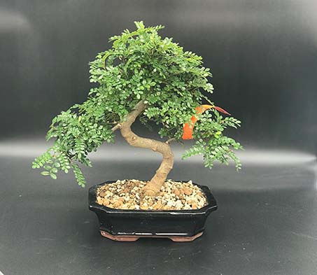 AZ BONSAI CERNAY ALSACE BONSAI INT XANTHOXYLLUM