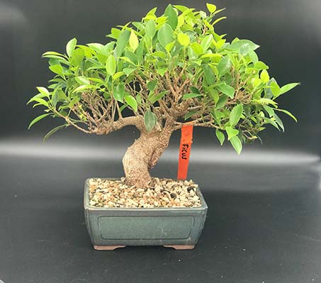 AZ BONSAI CERNAY ALSACE BONSAI INT FICUS