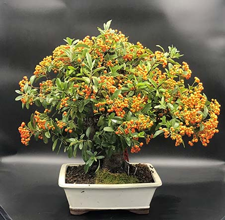 AZ BONSAI CERNAY ALSACE BONSAI EXT PYRACANTHA