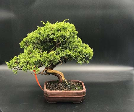 AZ BONSAI CERNAY ALSACE BONSAI EXT JUNIPERUS CHINESIS ITOIGAWA