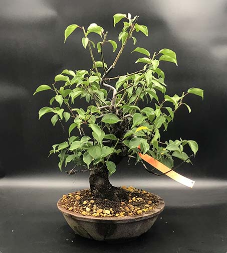 AZ BONSAI CERNAY ALSACE BONSAI EXT PRUNUS MUME