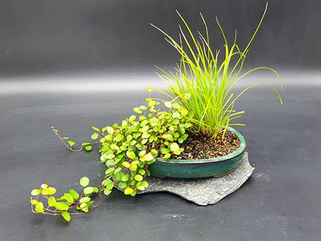 kusamono 5 az bonsaï cernay