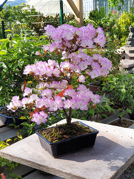 AZ BONSAI CERNAY ALSACE BONSAI EXT (1)