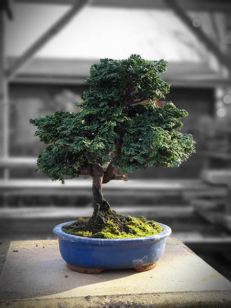 AZ BONSAI CERNAY ALSACE BONSAI EXT (15)