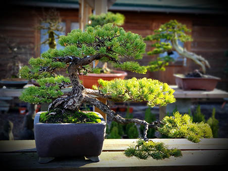 AZ BONSAI CERNAY ALSACE BONSAI EXT (18)