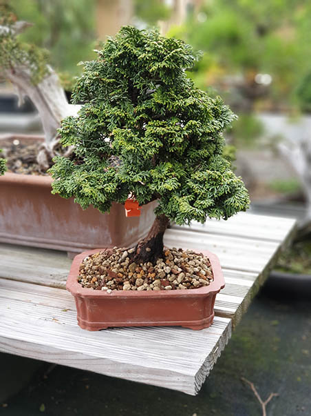 AZ BONSAI CERNAY ALSACE BONSAI EXT (23)
