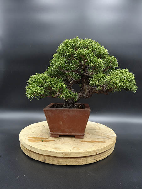 AZ BONSAI CERNAY ALSACE BONSAI EXT (28)